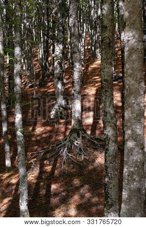 Weft Of Beech Trees, With Their Roots Out Of The Ground, Taken On Mount Faito