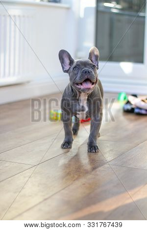 Blue French Bulldog Puppy Playing In Conservatory