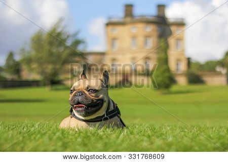 Happy French Bulldog Dog Laying In Grass Outside Old Mansion