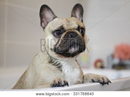 Cute Wet French Bulldog Dog In Bath Tub Getting Groomed