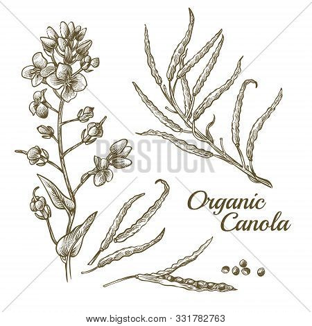 Canola Flower, Organic Colza Or Rape Plant Branch With Blossoms And Seeds. Botanical Flora Doodle Dr