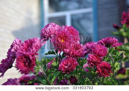 Flowers, Flowers Chrysanthemum, Chrysanthemum Wallpaper, Chrysanthemums In Autumn, Chrysanthemums An