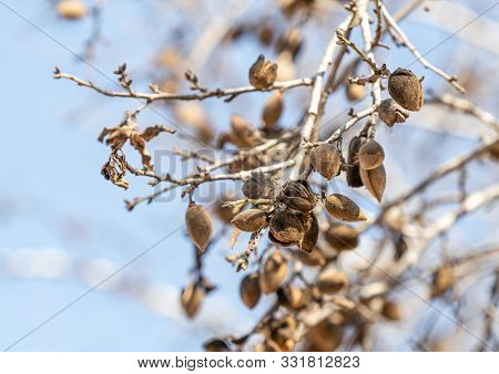 Wild Almond Tree Branch With Ripe Nuts At The Ancient Shiloh Archaeological Site In Samaria Region I