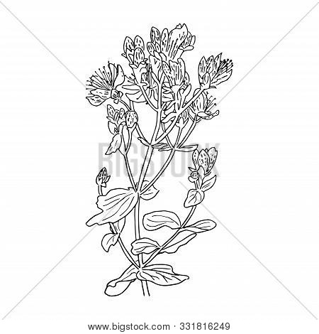Hypericum Perforatum, St. Johns Worth. Herbal Hand Drawn Engraving Illustration, Minimalism Style. S