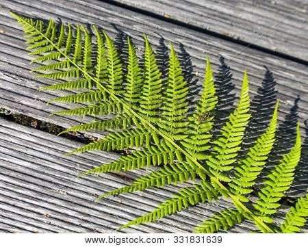 Fern Leaf On Wooden Boards. The Texture Of The Feathery Lacy Leaf Of A Fern Plant Lying On The Backg