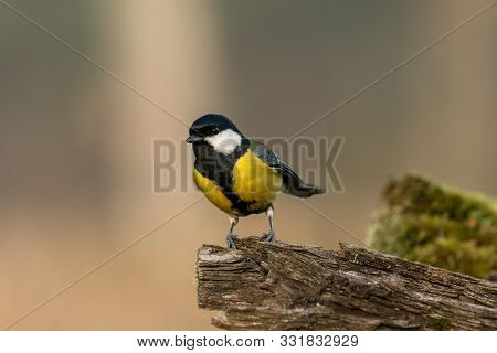 Beautiful Nature Scene With Great Tit (parus Major). Wildlife Shot Of Great Tit (parus Major) On Bra