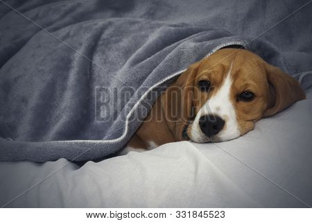 Beagle Dog Lies Covered With A Blanket And Falls Asleep. Tired Or Sick Dog Under Blankets In Bed.