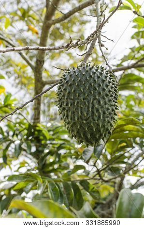 Soursop Fruit (annona Muricata) Hanging From The Plant, In Its Natural Environment