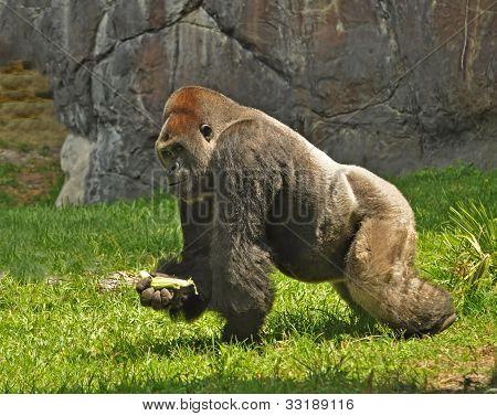 Silverback Gorilla on the Move, Florida