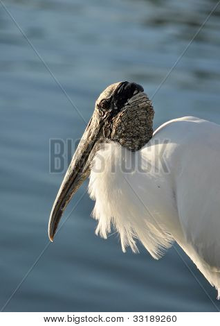 The wood stork is a large bird with white plumage, a bald head a wrinkled neck and long beak and legs. The wood stork is found in Florida and along the Gulf Coast. poster