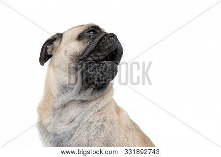 close up of tired pug looking up and panting, isolated on white background, portrait