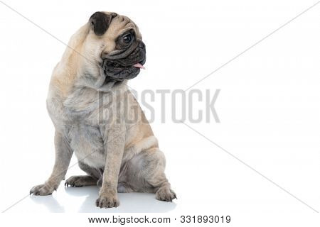 happy smiling pug sticking out tongue and panting, looking to side and sitting isolated on white background, full body