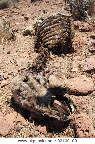 Dead Sheep Carcass