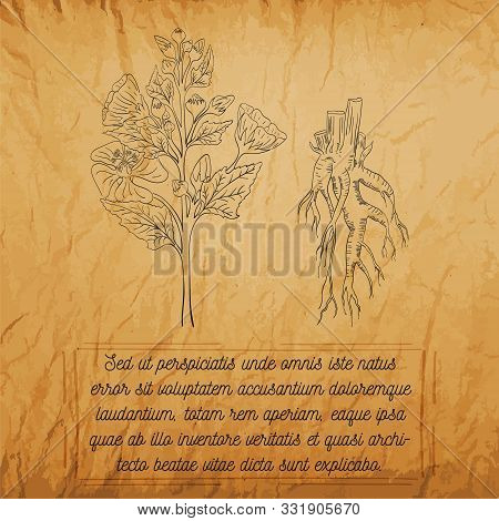 Vintage Banner Of Marsh-mallow Herb With Root