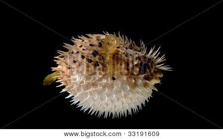 Puffed Up Puffer Fish