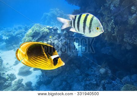 Tropical Fish In The Ocean. Raccoon Butterflyfish And Scissortail Sergeant Fishes. Colorful Beauty S
