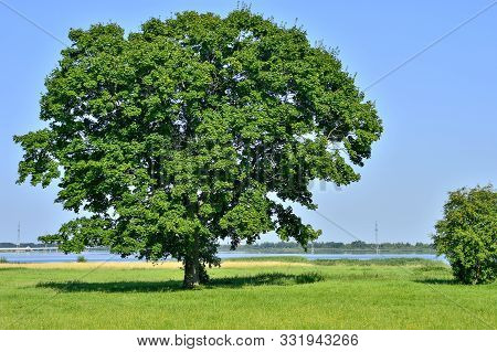 Lonely Big Tree In Green Field On A Background Clear Sky