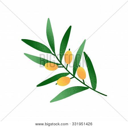 Olive Branch Cartoon Vector Illustration. Twig With Green Leaves And Yellow Olive Fruits. Traditiona