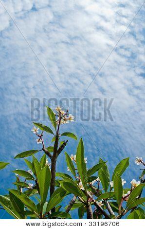 Frangipani Flowers And  Blue Sky