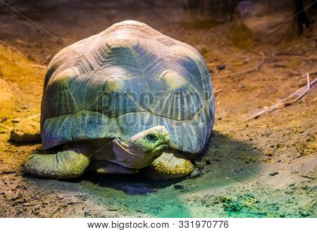 Portrait Of A Radiated Tortoise, Tropical Turtle Specie From Madagascar, Critically Endangered Anima