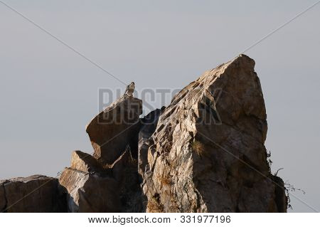 Peregrine Falcon Falco Peregrinus Sitting Afar On The Rock On Sky Background. Wild Predatory Bird In