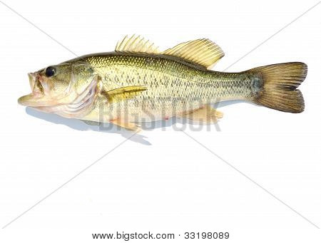 A Large-mouth Bass against a white background. poster
