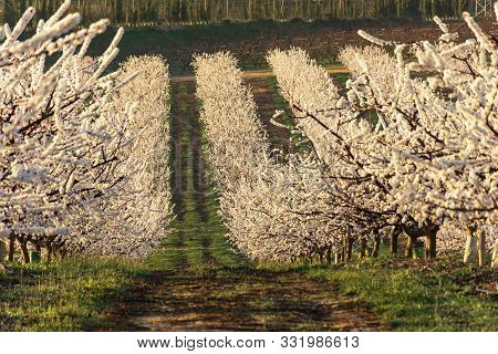 View Of White Peach Tree In Bloom. White And Pink Delicate Flowers. Pink And Fresh Tones On A Natura