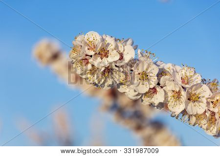 Branch Of White Peach Tree In Bloom. White And Pink Delicate Flowers. Pink And Fresh Tones On A Natu