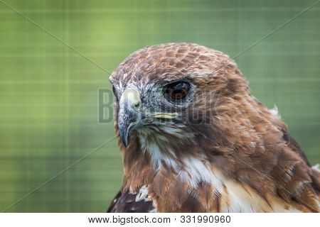 Broad-winged Hawk (buteo Platypterus) Closeup Looking Left Against Green Background