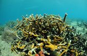 Beautiful seascape of staghorn coral on a coral reef in Atlantic Ocean with fish poster