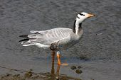 A Bar Head Goose, a rare UK visitor from Europe. poster