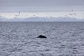 Humpback whale in the waters outside Reykjavik, mountains in the background poster