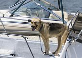 cool Alsatian bitch wearing sunglasses on a boat in a marina poster