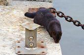 Wild mink walking on concrete pier. Mustela lutreola - wild predatory furry animal in human habitation. poster