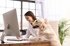Young Woman Working At Home Office And Stroking Her Golden Retriever Dog