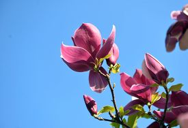 Blossoming Magnolia Against A Blue Sky In Early Spring