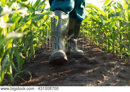 Low Angle View At Farmer Feet In Rubber Boots Walking At Camera Along Maize Stalks