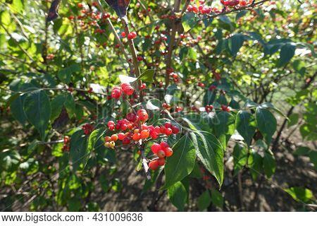 Bright Red Berries Of Amur Honeysuckle In October
