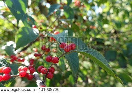 Close View Of Red Berries Of Amur Honeysuckle In October