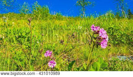 Beautiful Meadow Flower Pink Geranium. Summer Landscape Hemsedal Norway.