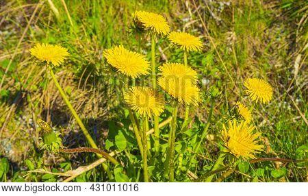 Yellow Dandelions On The Flower Meadow In Summer In Viken Hemsedal Norway.