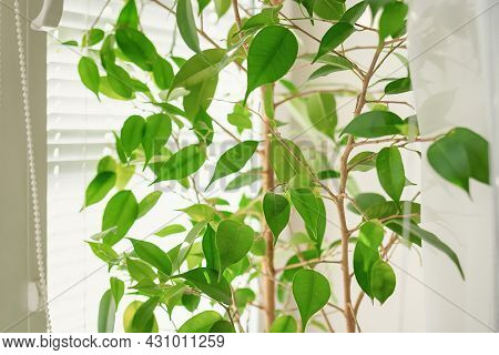 Close Up And Soft Focus Of Green Ficus Leaves Against The Background Of White Blinds In Bright Dayli