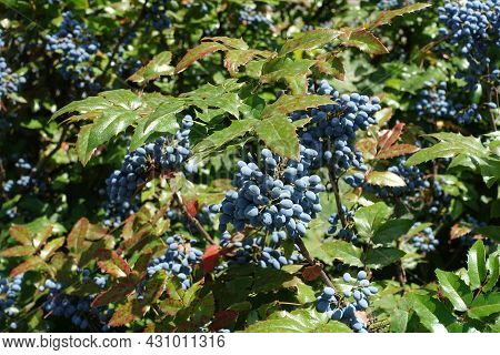 Plenty Of Blue Berries In The Leafage Of Mahonia Aquifolium In July