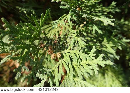 Closeup Of Brown Cones In The Leafage Of Thuja Occidentalis In October
