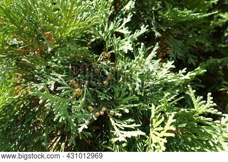 Light Brown Cones In The Leafage Of Thuja Occidentalis In October