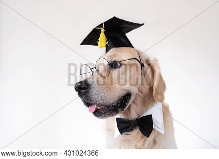 A Dog In A Graduate Costume. A Golden Retriever In A Black Graduation Hat And Glasses Sits On A Whit