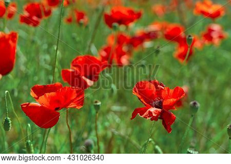 Field Of Red Poppies. Red Poppy On Green Weeds Field. Close Up Poppy Head. Papaver Rhoeas