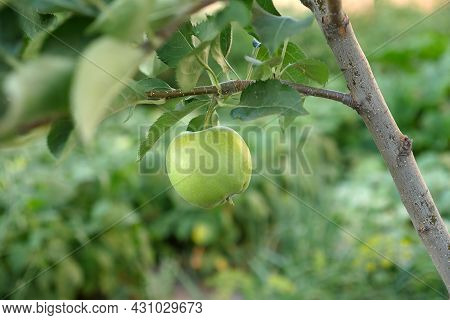 Green Sour Apple Standing On Tree,close-up Apple, Apple On Tree,