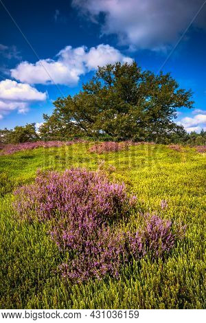 Landscape With Purple Blooming Heather In Nature Park Veluwe