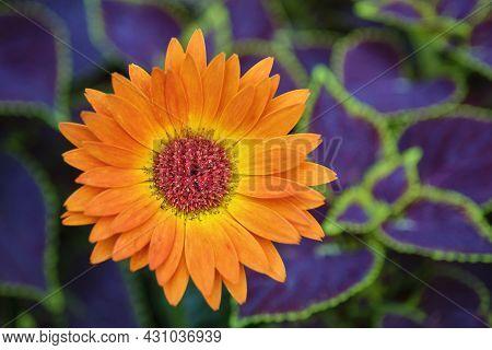 Beautiful Orange Gerbera Daisy, Gerbera Jamesonii, On A Background Of Purple And Green Leaves.